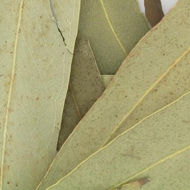 Purement Eucalyptus feuilles bio